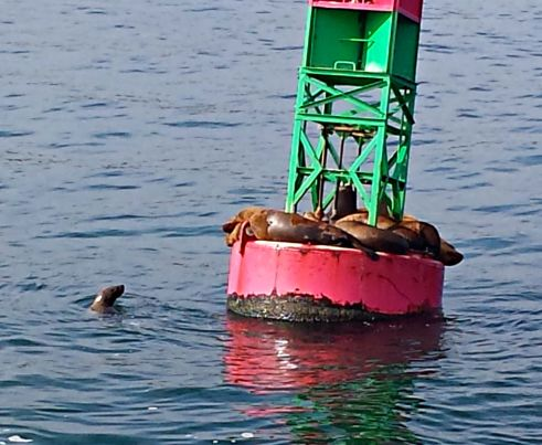 Sea Lions cropped