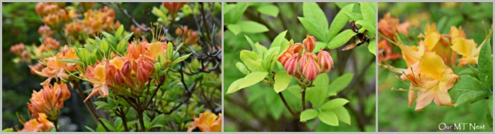 Azalea Collage 2w
