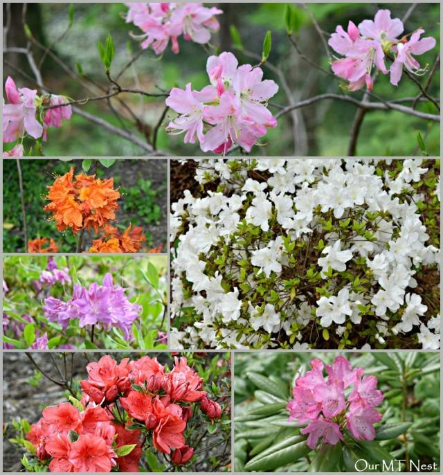 Azaleas Collage 1 w