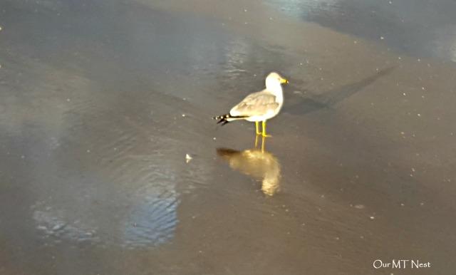 mr-gull-ecw